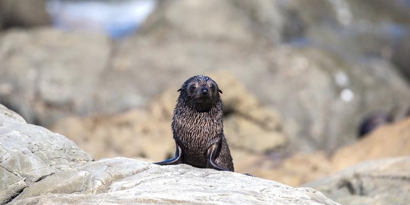 Nieuw Zeelandse zeebeer 2