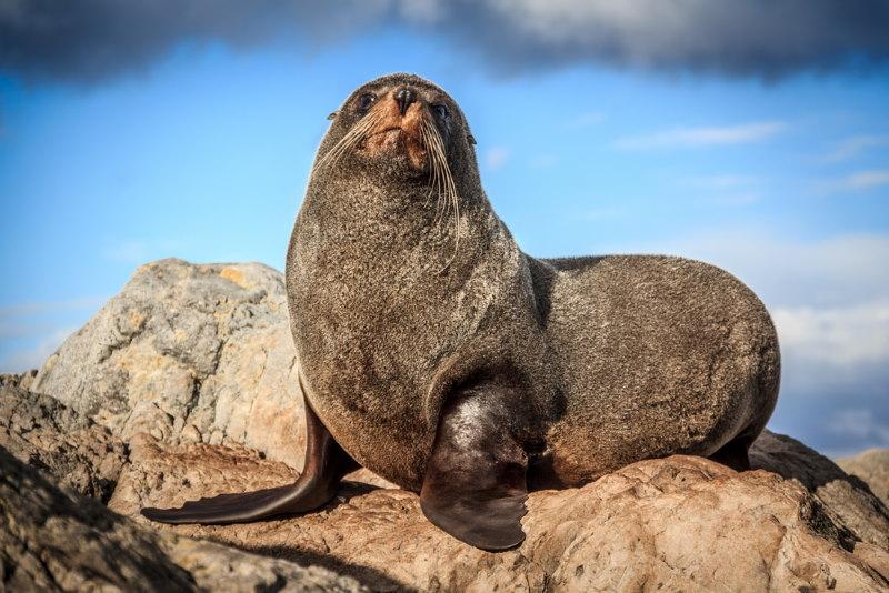 Nieuw Zeelandse zeebeer