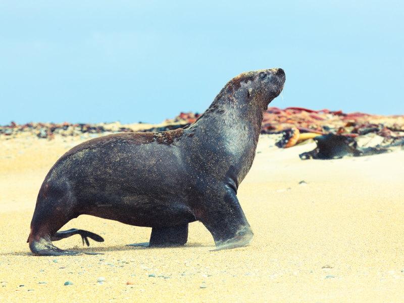 Nieuw Zeelandse zeeleeuw 2