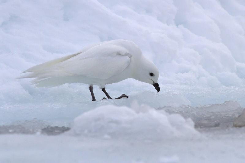 Sneeuwstormvogel 2