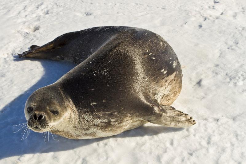 Weddellzeehond