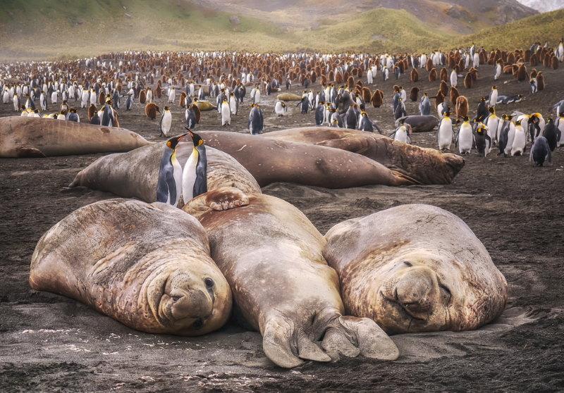 Zuidelijke zeeolifant 2