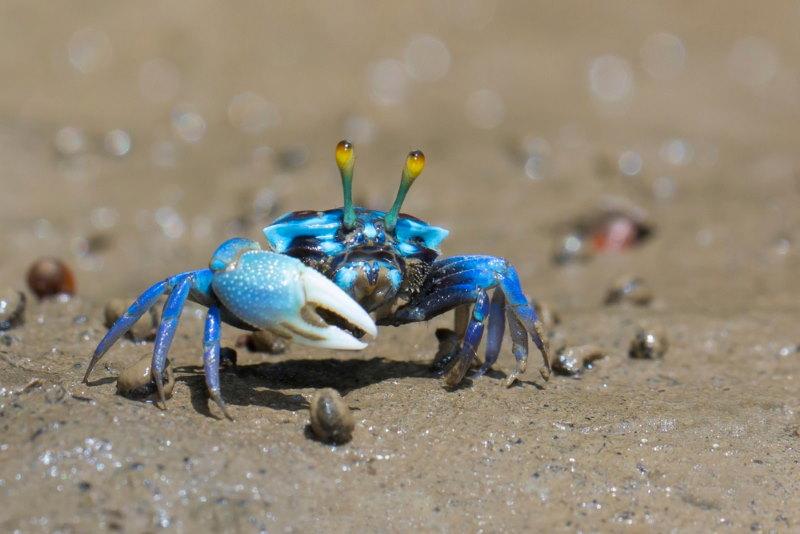 krabben poot
