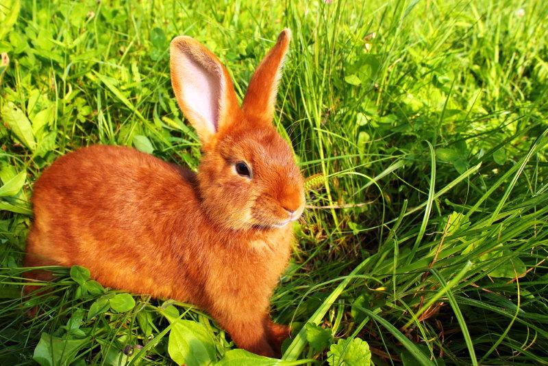 nieuw zeelander rode konijn