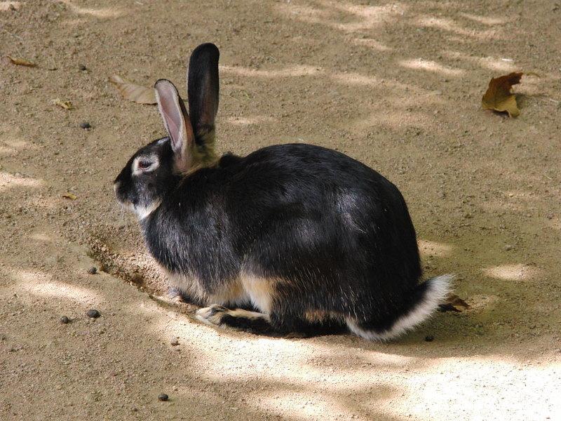 tan konijn