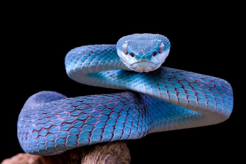 viper adder