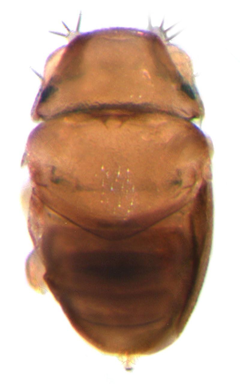 Euryplatea nanaknihali
