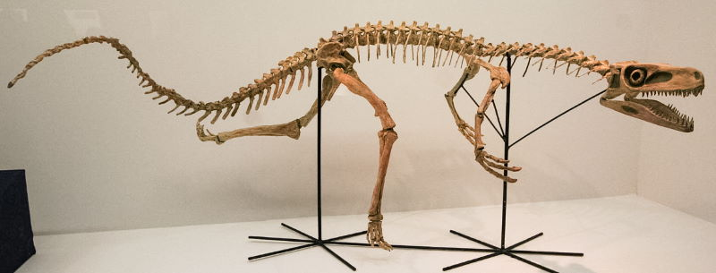 Staurikosaurus skelet