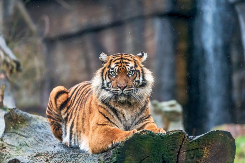 tijger burgers zoo ontnsapt