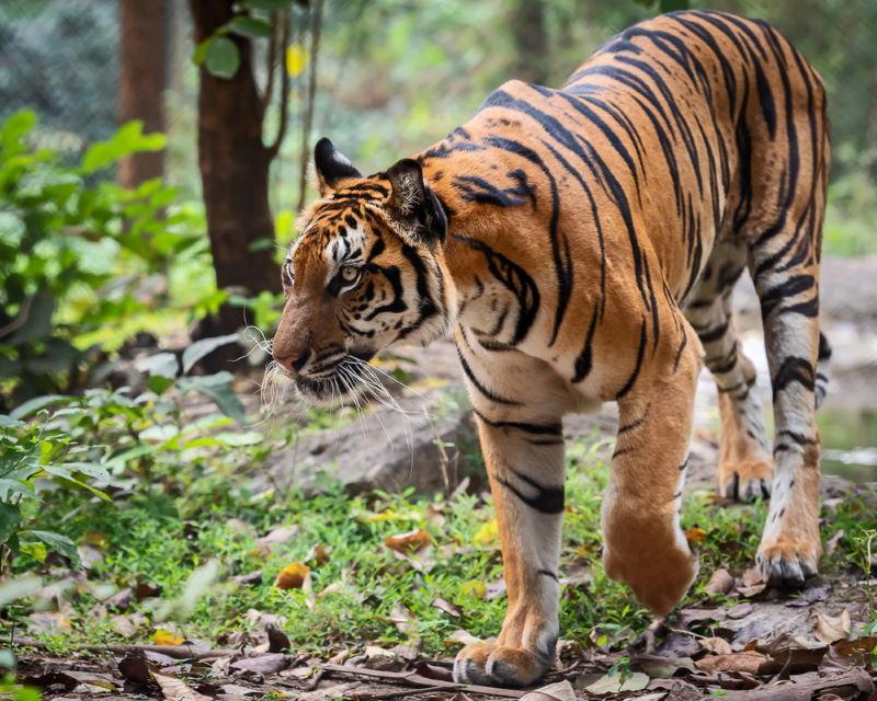 Chinese tijger