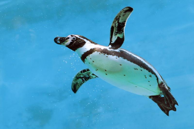Humboldtpinguïn