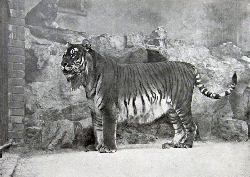 Kaspische tijger