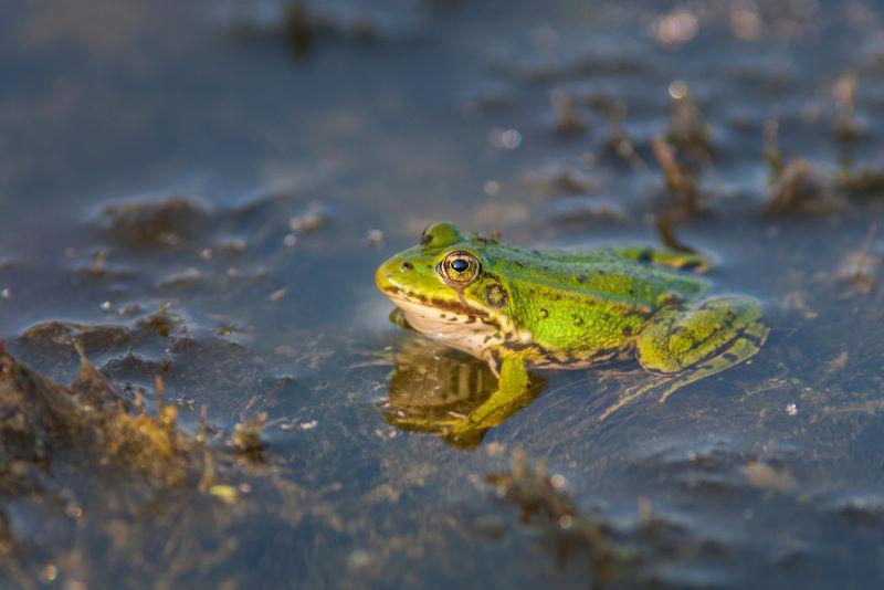 Middelste groene kikker