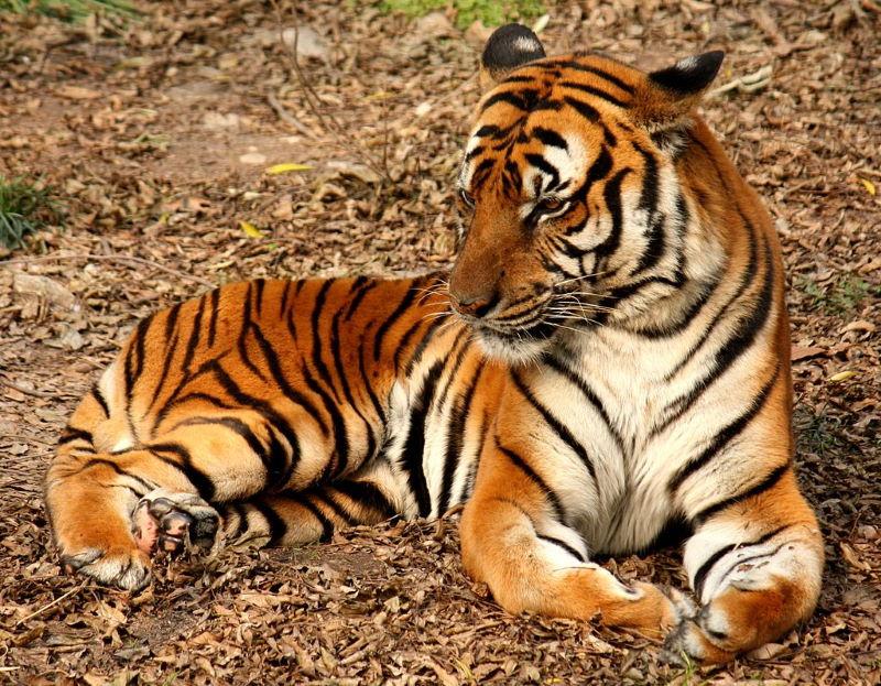 Noord Indochinese tijger