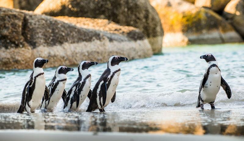 Zwartvoetpinguïn