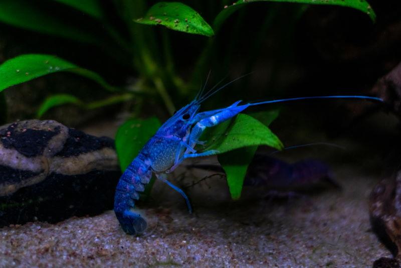 blauwe kreeft