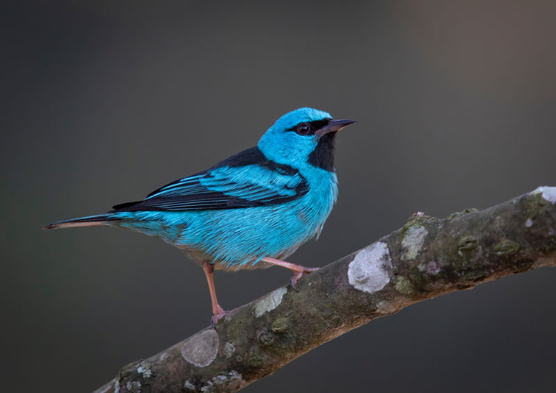 blauwe pitpit