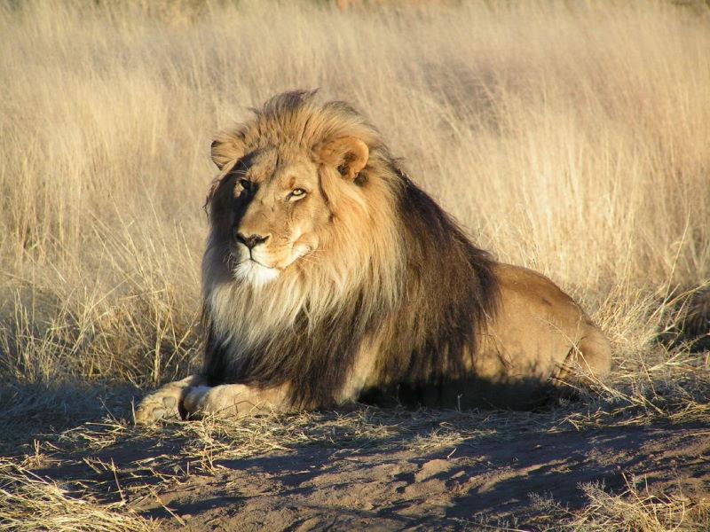 afrikaanse leeuw