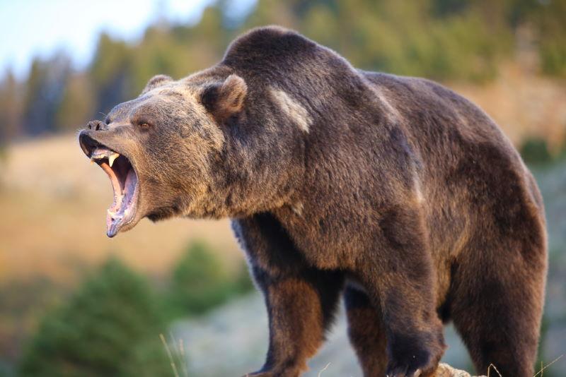 Grizzlybeer2
