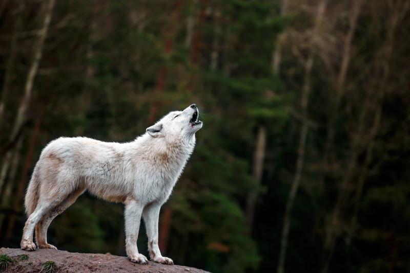 grijze wolf 3
