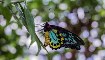 Alexandras vogelvlinder
