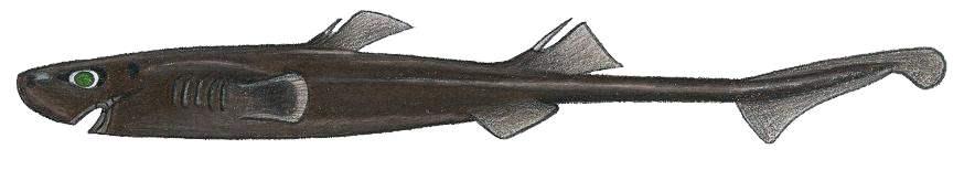 Etmopterus carteri