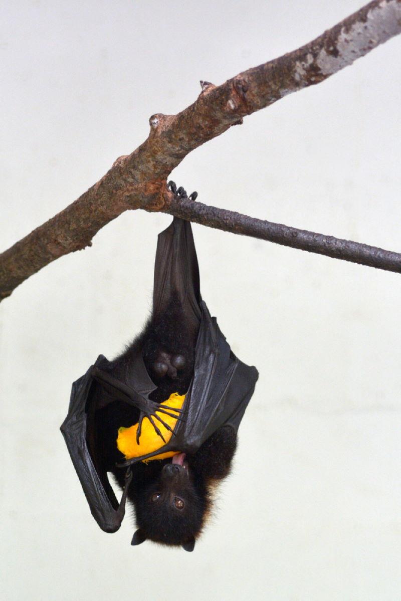 Fiji apenkopvleermuis