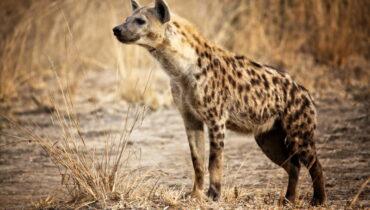 Gevlekte Hyena 2