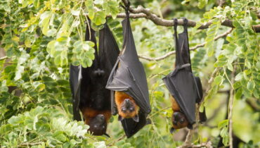 Lyles flying fox