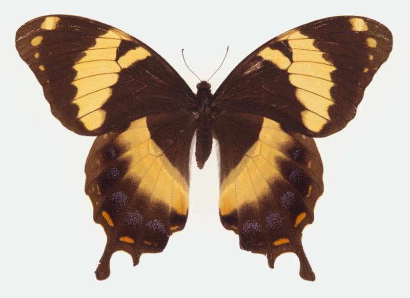 Papilio homerus ulster