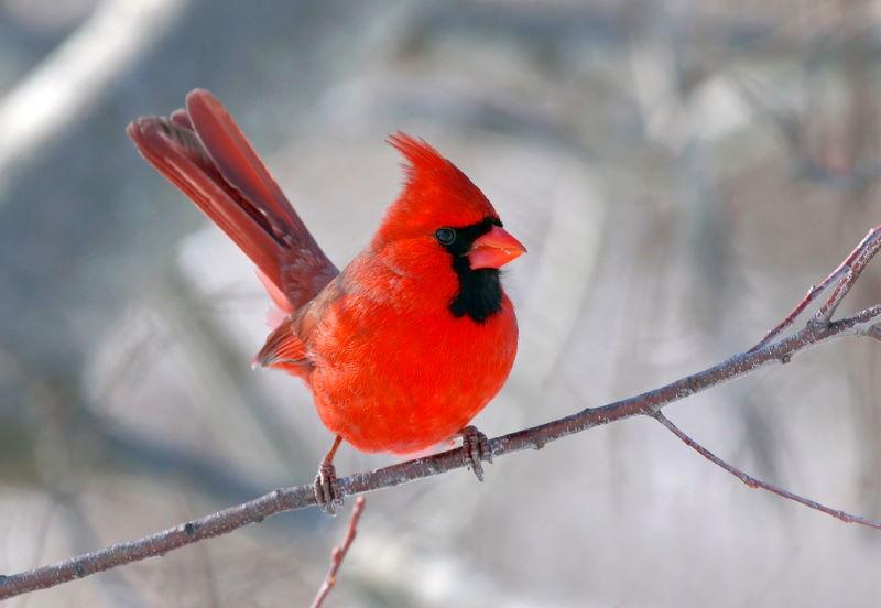 Rode kardinaal 2