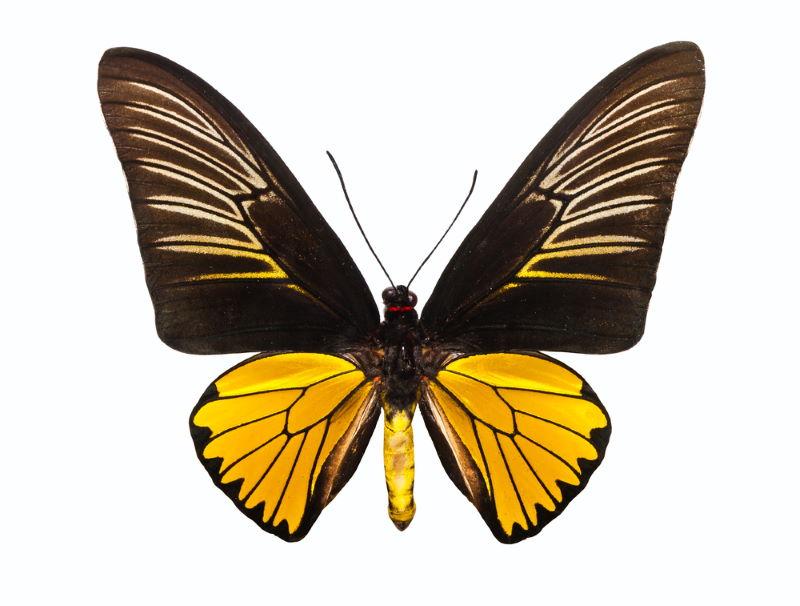 Troides magellanus