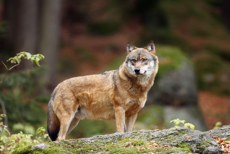 grijze wolf 4