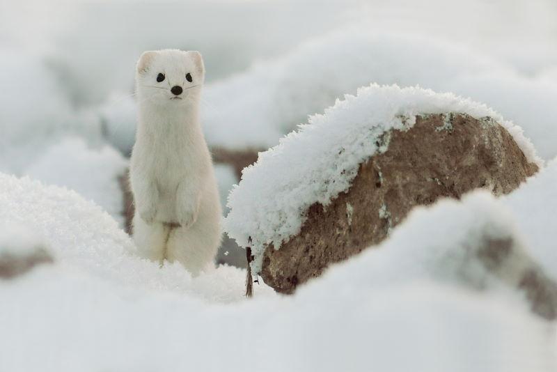 hermelijn winter