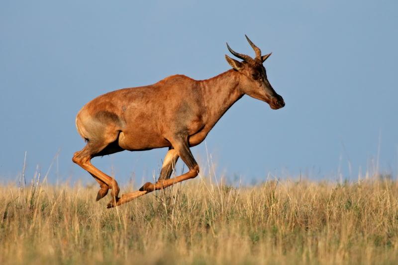 Lierantilope