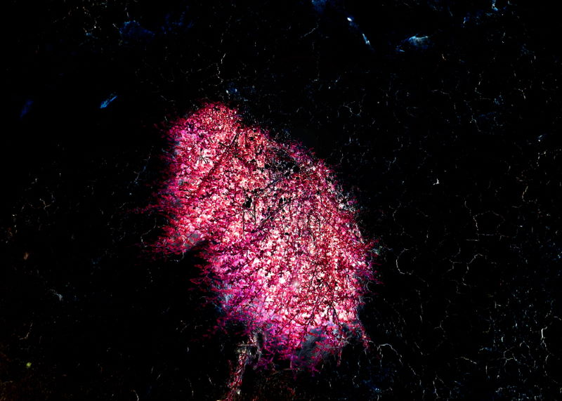 lichtgevende Bacterien