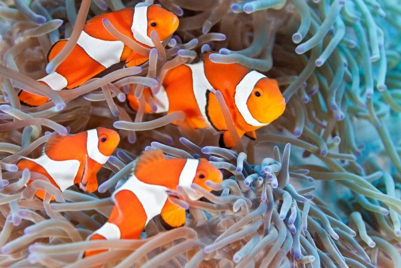 Anemoonvissen 2