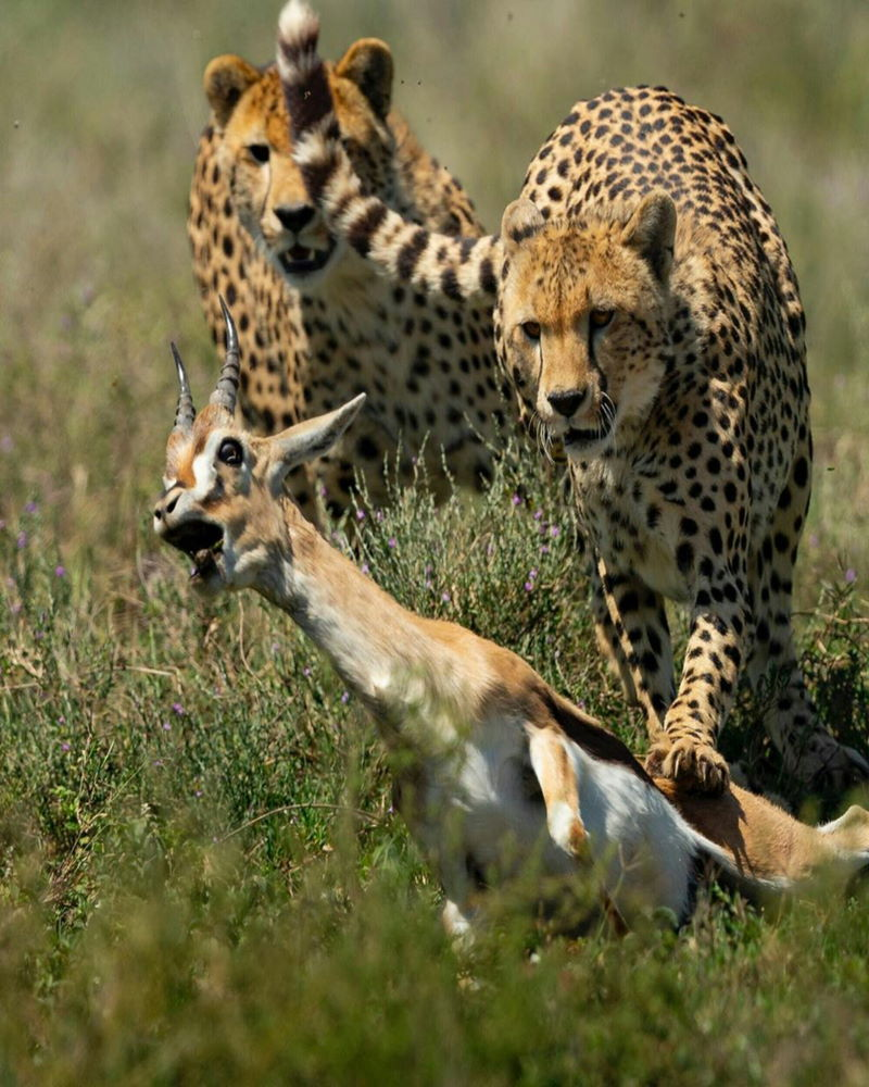 cheetah tackled zijn prooi