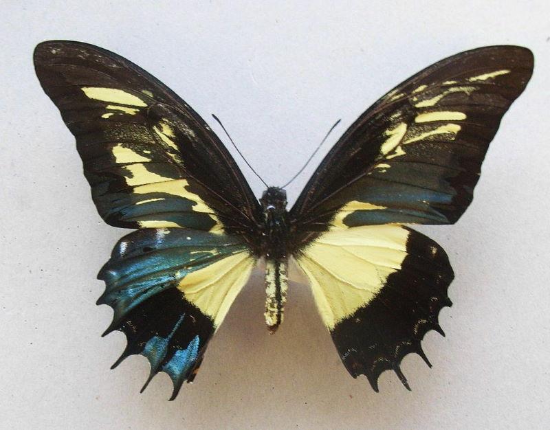 gynandromorfisme vlinder