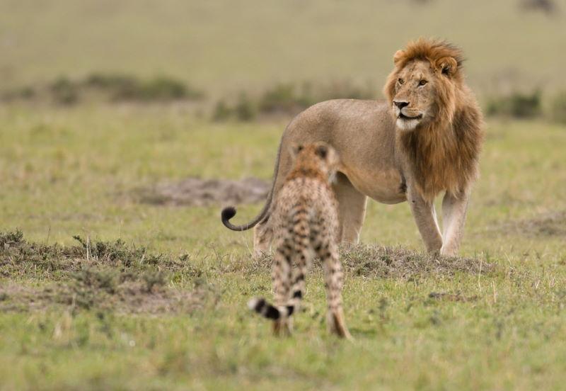 leeuw en jachtluipaard