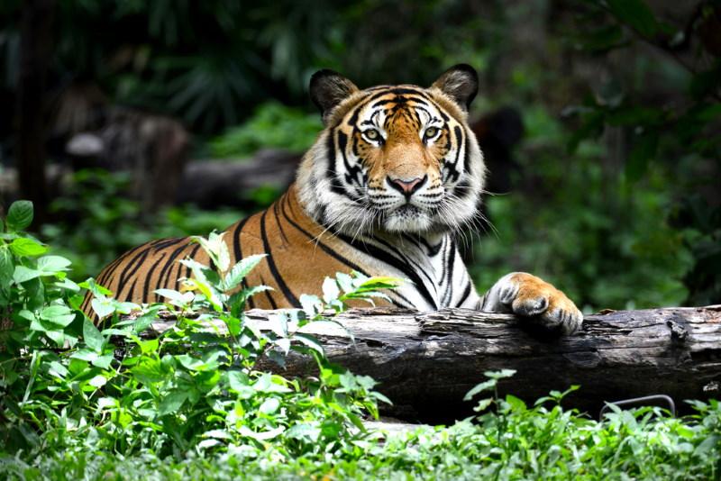 lijken meer op tijgers