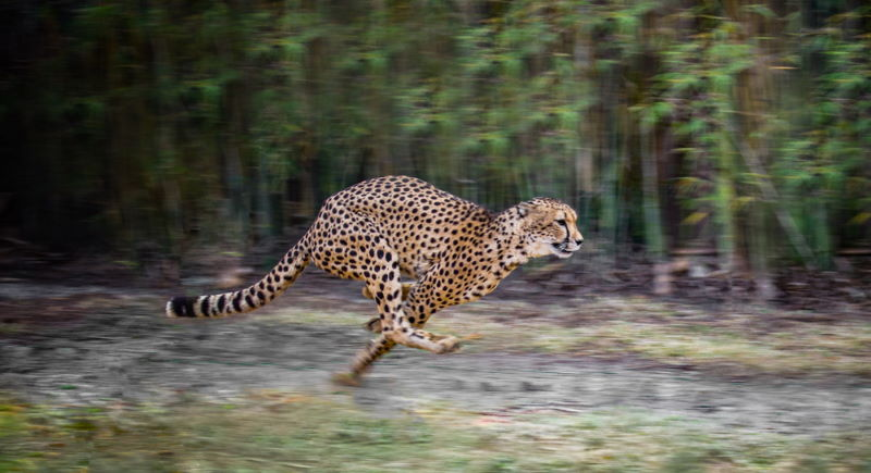 snel jachtluipaard