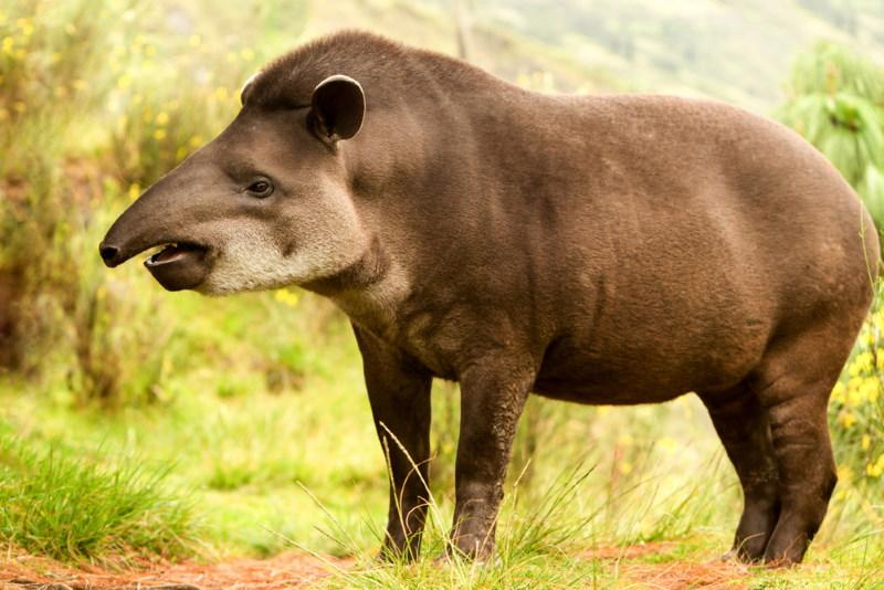 tapir familie van de neushoorn