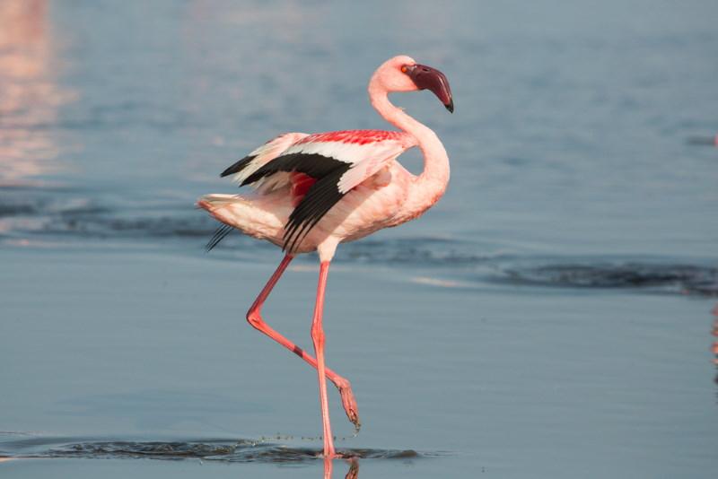 Kleine flamingo