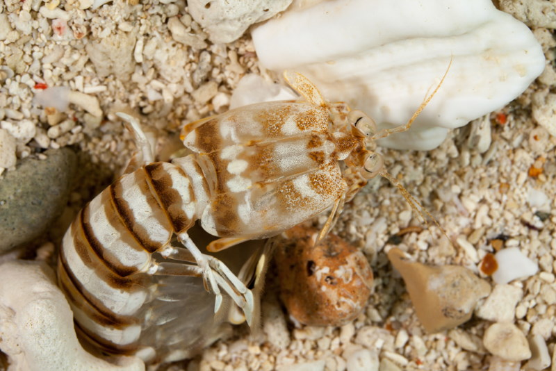 Lysiosquillina maculata