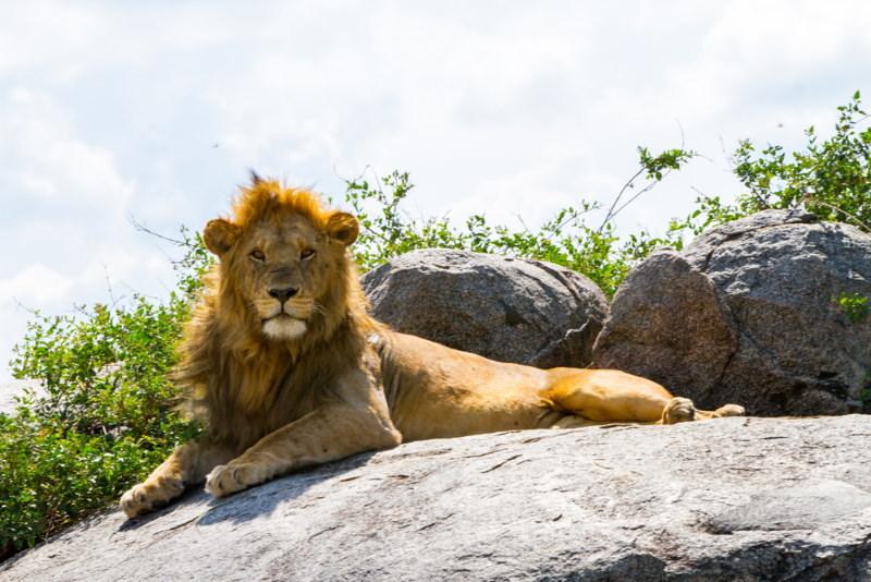Oost Afrikaanse leeuw