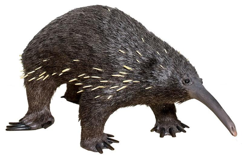 Zaglossus bartoni zwartharige vachtegel