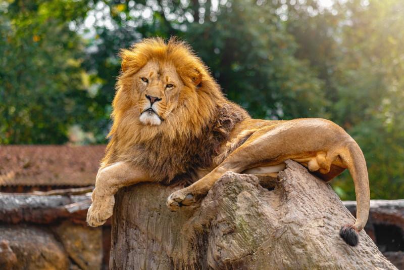 Zuidoost Afrikaanse leeuw