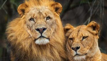 Zuidwest Afrikaanse leeuw