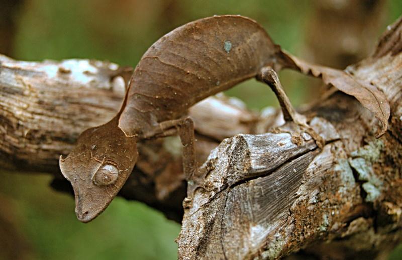 blaadjes gekko